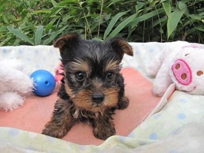 ヨークシャーテリアの子犬(ID:1232811072)の2枚目の写真/更新日:2015-10-07