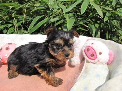 ヨークシャーテリアの子犬(ID:1232811072)の3枚目の写真/更新日:2015-10-07