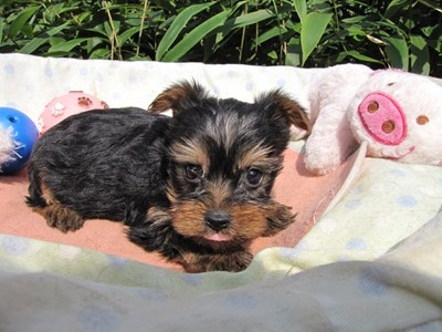 ヨークシャーテリアの子犬(ID:1232811072)の4枚目の写真/更新日:2015-10-07