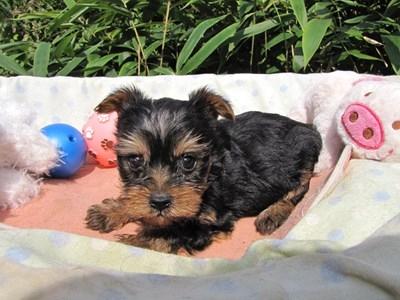ヨークシャーテリアの子犬(ID:1232811072)の5枚目の写真/更新日:2015-10-07