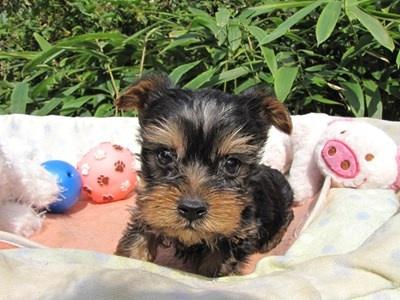 ヨークシャーテリアの子犬(ID:1232811072)の6枚目の写真/更新日:2015-10-07