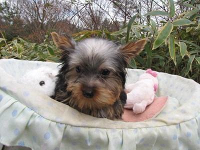 ヨークシャーテリアの子犬(ID:1232811073)の1枚目の写真/更新日:2015-12-15