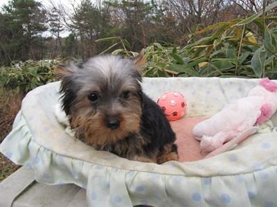 ヨークシャーテリアの子犬(ID:1232811073)の2枚目の写真/更新日:2015-12-15