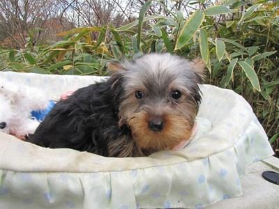 ヨークシャーテリアの子犬(ID:1232811073)の3枚目の写真/更新日:2015-12-15