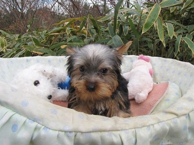 ヨークシャーテリアの子犬(ID:1232811073)の4枚目の写真/更新日:2015-12-15