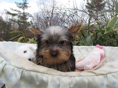 ヨークシャーテリアの子犬(ID:1232811073)の5枚目の写真/更新日:2015-12-15