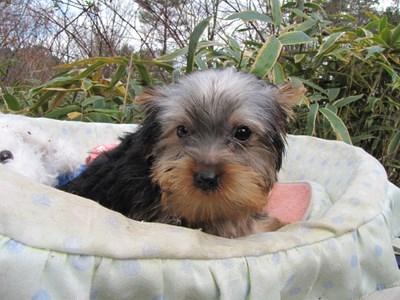 ヨークシャーテリアの子犬(ID:1232811073)の6枚目の写真/更新日:2015-12-15
