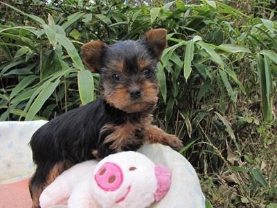 ヨークシャーテリアの子犬(ID:1232811074)の1枚目の写真/更新日:2015-10-27