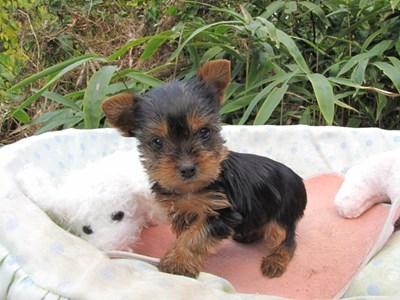 ヨークシャーテリアの子犬(ID:1232811074)の2枚目の写真/更新日:2015-10-27