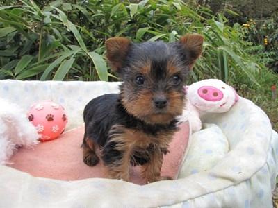 ヨークシャーテリアの子犬(ID:1232811074)の3枚目の写真/更新日:2015-10-27