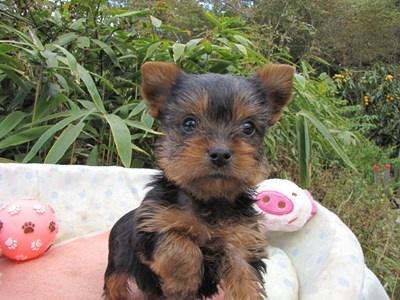 ヨークシャーテリアの子犬(ID:1232811074)の4枚目の写真/更新日:2015-10-27