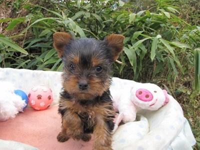 ヨークシャーテリアの子犬(ID:1232811074)の5枚目の写真/更新日:2015-10-27