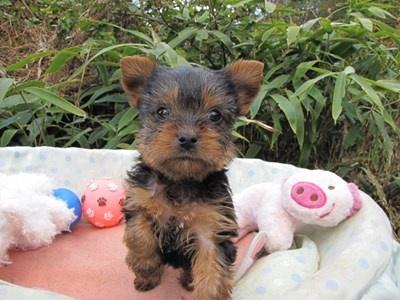 ヨークシャーテリアの子犬(ID:1232811074)の6枚目の写真/更新日:2015-10-27