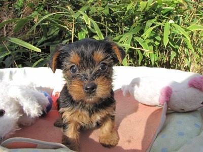 ヨークシャーテリアの子犬(ID:1232811075)の1枚目の写真/更新日:2015-10-28