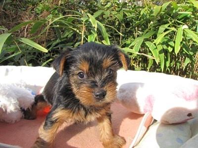 ヨークシャーテリアの子犬(ID:1232811075)の2枚目の写真/更新日:2015-10-28