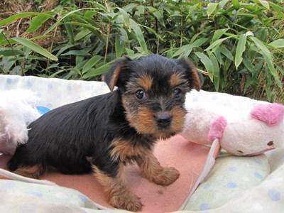ヨークシャーテリアの子犬(ID:1232811075)の3枚目の写真/更新日:2015-10-28