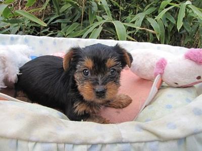 ヨークシャーテリアの子犬(ID:1232811075)の4枚目の写真/更新日:2015-10-28