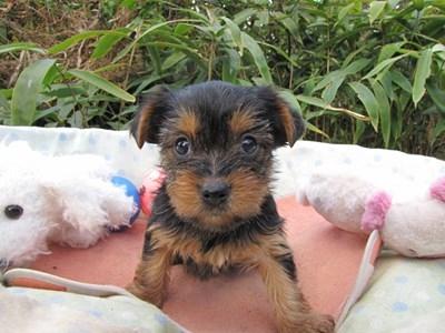 ヨークシャーテリアの子犬(ID:1232811075)の5枚目の写真/更新日:2015-10-28