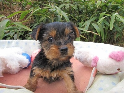 ヨークシャーテリアの子犬(ID:1232811075)の6枚目の写真/更新日:2015-10-28