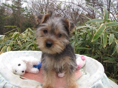 ヨークシャーテリアの子犬(ID:1232811076)の1枚目の写真/更新日:2015-12-13
