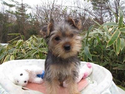 ヨークシャーテリアの子犬(ID:1232811076)の2枚目の写真/更新日:2015-12-13
