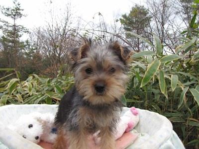 ヨークシャーテリアの子犬(ID:1232811076)の3枚目の写真/更新日:2015-12-13