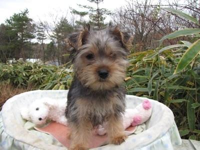 ヨークシャーテリアの子犬(ID:1232811076)の4枚目の写真/更新日:2015-12-13