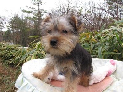 ヨークシャーテリアの子犬(ID:1232811076)の5枚目の写真/更新日:2015-12-13