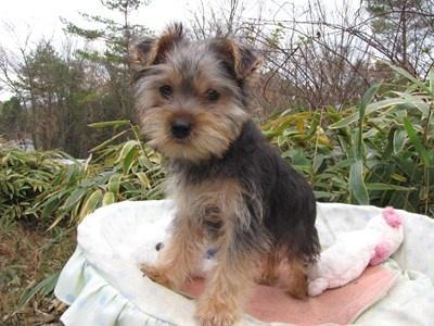 ヨークシャーテリアの子犬(ID:1232811076)の6枚目の写真/更新日:2015-12-13