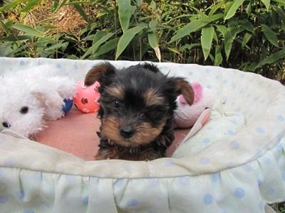 ヨークシャーテリアの子犬(ID:1232811077)の1枚目の写真/更新日:2015-10-31