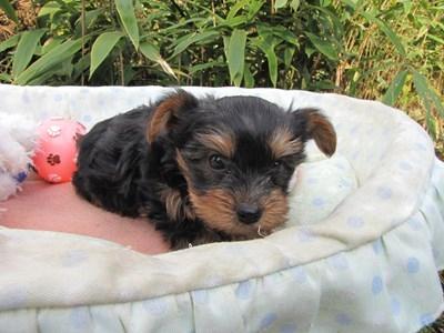 ヨークシャーテリアの子犬(ID:1232811077)の2枚目の写真/更新日:2015-10-31