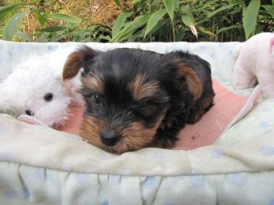 ヨークシャーテリアの子犬(ID:1232811077)の3枚目の写真/更新日:2015-10-31