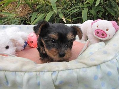 ヨークシャーテリアの子犬(ID:1232811077)の4枚目の写真/更新日:2015-10-31
