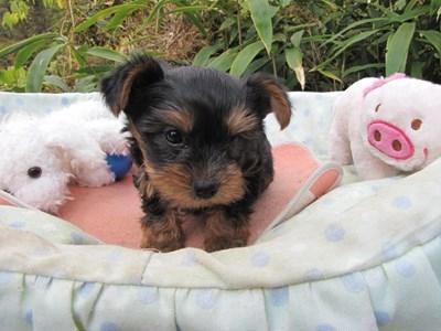 ヨークシャーテリアの子犬(ID:1232811077)の5枚目の写真/更新日:2015-10-31