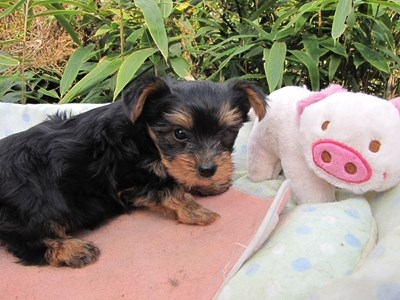 ヨークシャーテリアの子犬(ID:1232811077)の6枚目の写真/更新日:2015-10-31