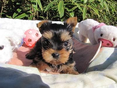 ヨークシャーテリアの子犬(ID:1232811078)の1枚目の写真/更新日:2015-11-06