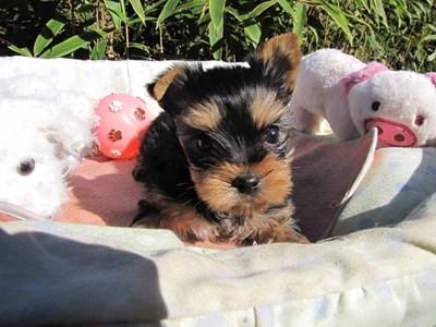 ヨークシャーテリアの子犬(ID:1232811078)の2枚目の写真/更新日:2015-11-06