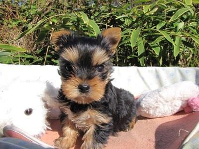 ヨークシャーテリアの子犬(ID:1232811078)の3枚目の写真/更新日:2015-11-06