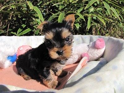 ヨークシャーテリアの子犬(ID:1232811078)の4枚目の写真/更新日:2015-11-06