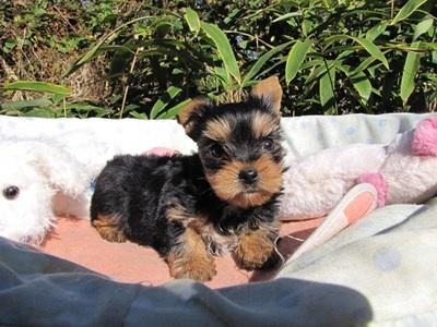 ヨークシャーテリアの子犬(ID:1232811078)の5枚目の写真/更新日:2015-11-06