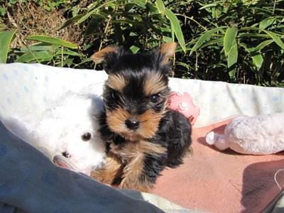 ヨークシャーテリアの子犬(ID:1232811078)の6枚目の写真/更新日:2015-11-06