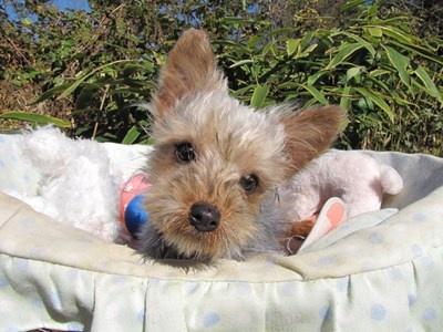ヨークシャーテリアの子犬(ID:1232811079)の1枚目の写真/更新日:2015-11-07