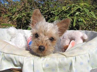 ヨークシャーテリアの子犬(ID:1232811079)の2枚目の写真/更新日:2015-11-07