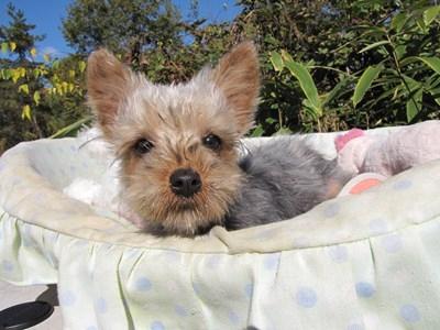 ヨークシャーテリアの子犬(ID:1232811079)の3枚目の写真/更新日:2015-11-07