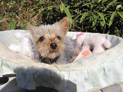 ヨークシャーテリアの子犬(ID:1232811079)の4枚目の写真/更新日:2015-11-07