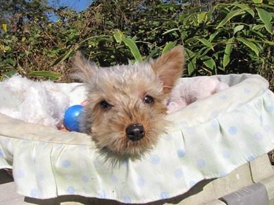 ヨークシャーテリアの子犬(ID:1232811079)の5枚目の写真/更新日:2015-11-07