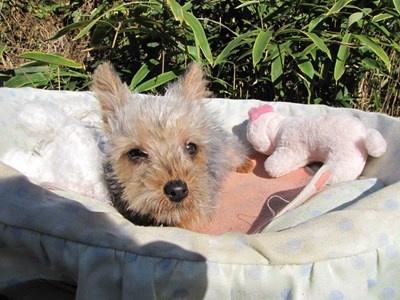 ヨークシャーテリアの子犬(ID:1232811079)の6枚目の写真/更新日:2015-11-07
