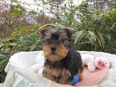 ヨークシャーテリアの子犬(ID:1232811080)の1枚目の写真/更新日:2015-12-06