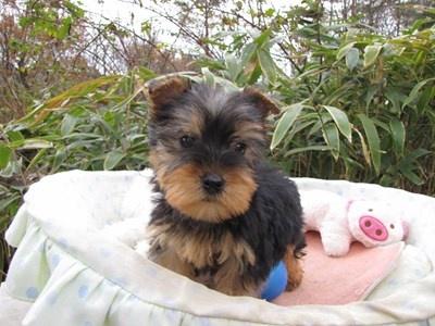 ヨークシャーテリアの子犬(ID:1232811080)の2枚目の写真/更新日:2015-12-06