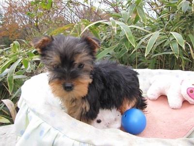 ヨークシャーテリアの子犬(ID:1232811080)の3枚目の写真/更新日:2015-12-06